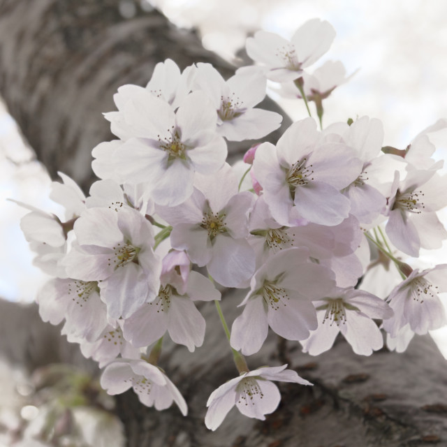 """Cherry Tree Blossom"" stock image"