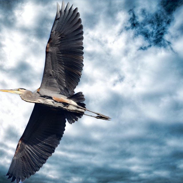 """Blue Heron"" stock image"