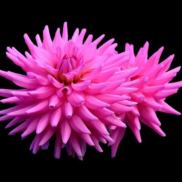 """""""Pink dahlias"""" stock image"""