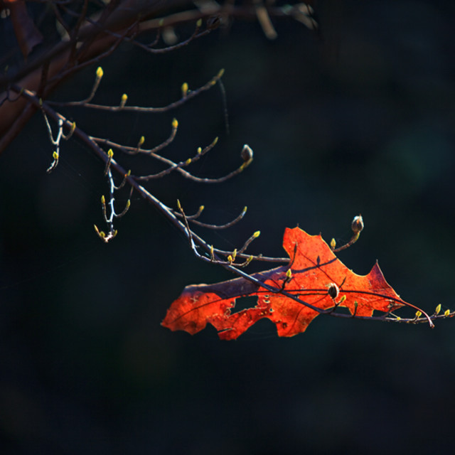 """Autumn leaf caught in tree"" stock image"