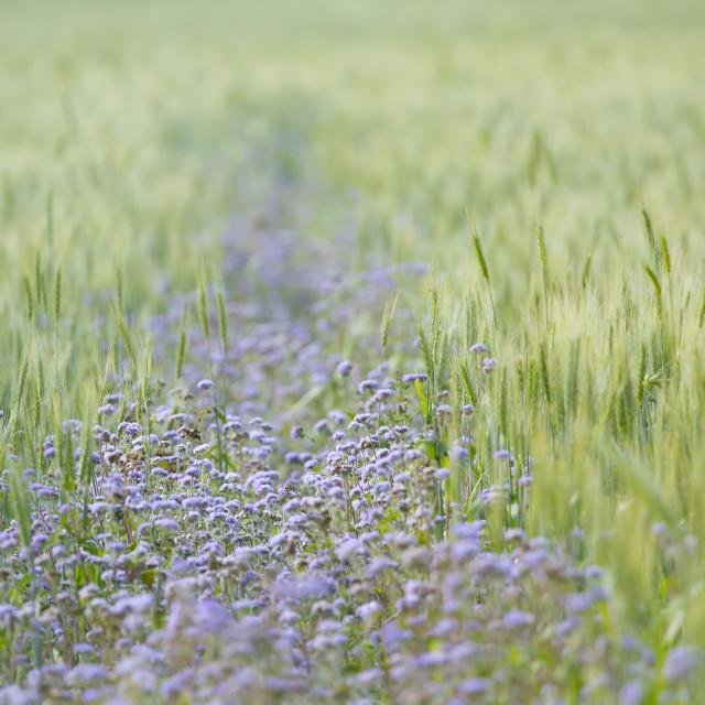 """Purple flower in green crop"" stock image"