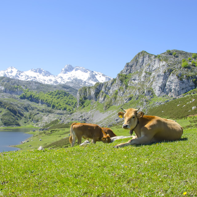 """""""Cows in the mountains"""" stock image"""