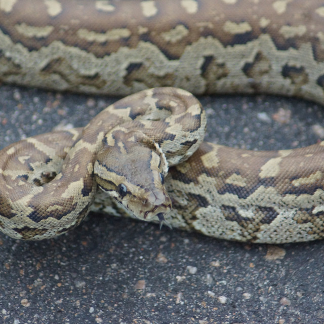 """South African Rock Python Baby"" stock image"