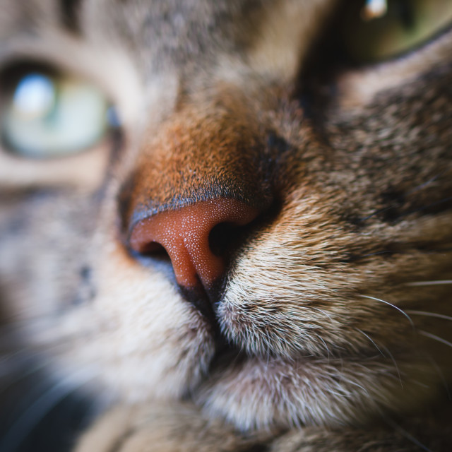 """Nose cat detail"" stock image"