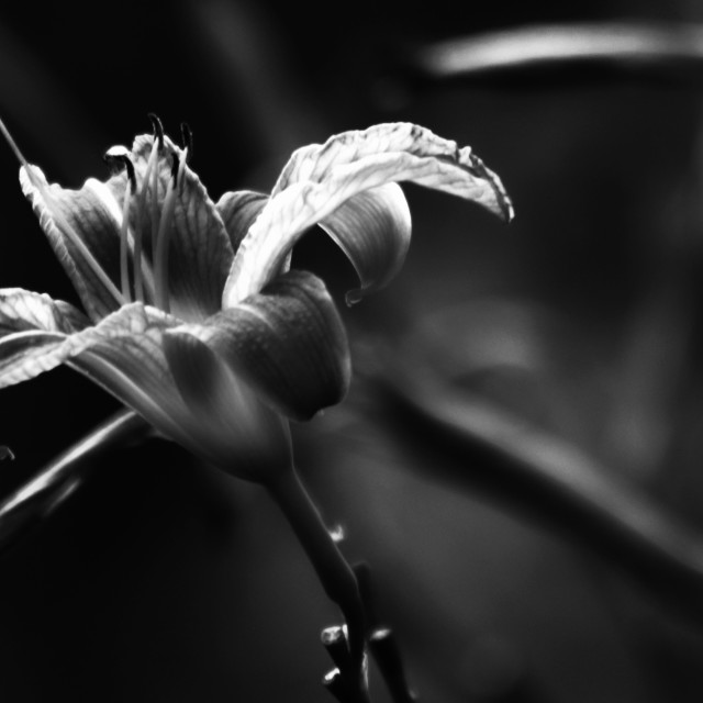 """""""Tiger Lily"""" stock image"""