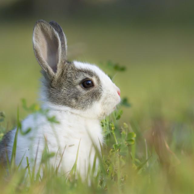 """Baby rabbit in grass"" stock image"