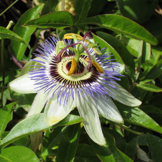 """Passion flower"" stock image"