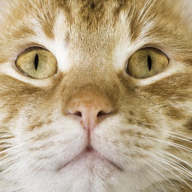 """""""Orange cat close up eyes"""" stock image"""