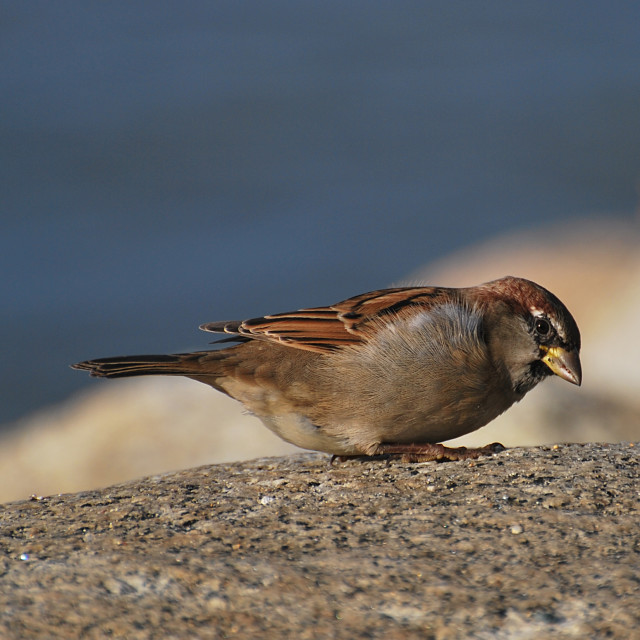 """Sparrow"" stock image"