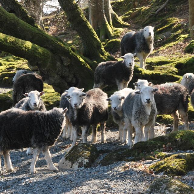 """Sheepies"" stock image"