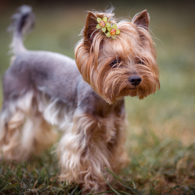 """Yorkshire terrier"" stock image"