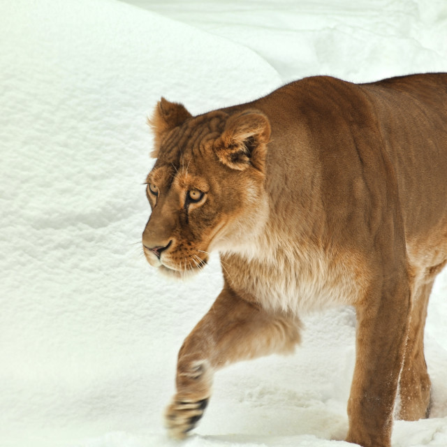 """lioness in snow"" stock image"