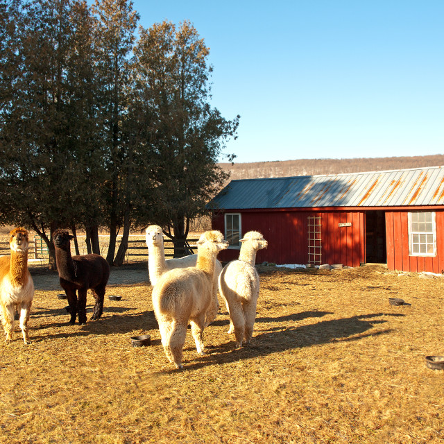 """alpaca farm"" stock image"