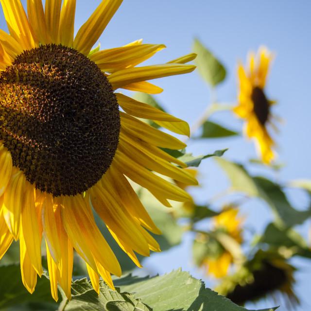 """""""Large sunflower"""" stock image"""