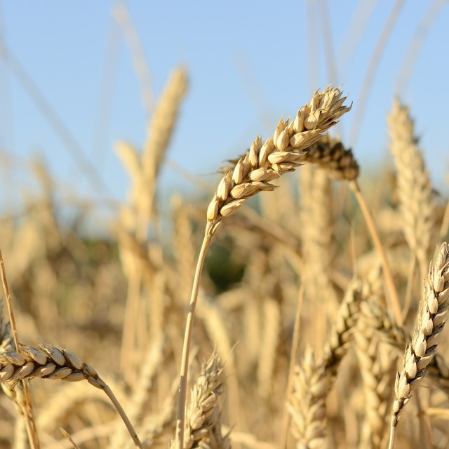 """""""Wheat field in summer"""" stock image"""