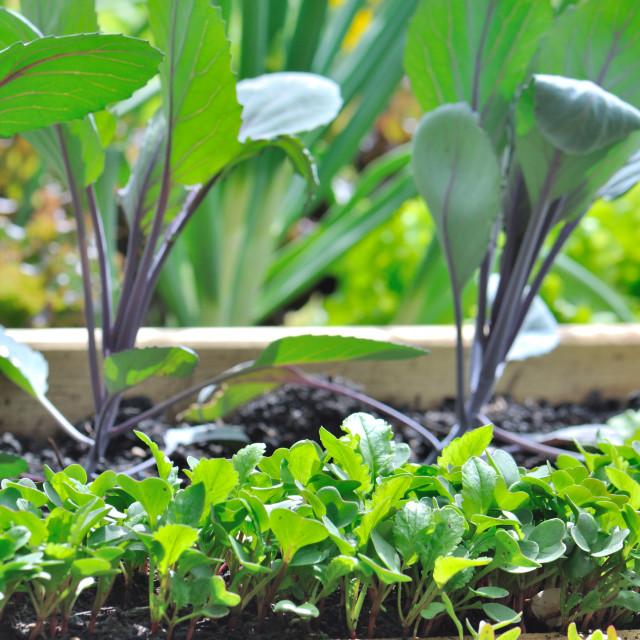 """""""raddish seedlings"""" stock image"""
