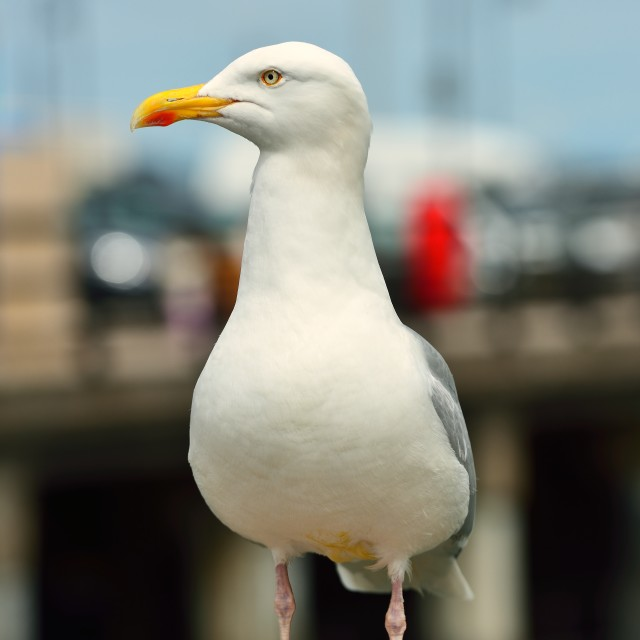 """Sea Gull"" stock image"