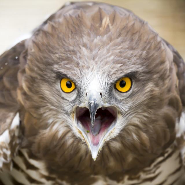 """""""Toed Eagle"""" stock image"""