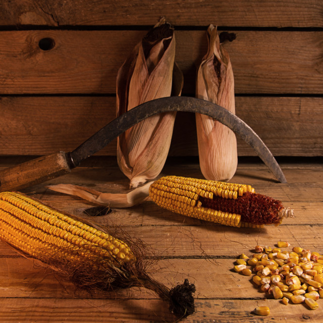 """corn"" stock image"