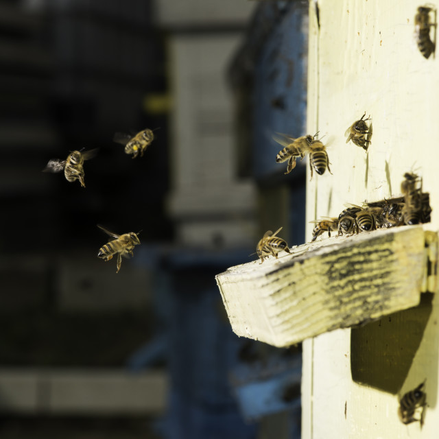 """""""Bees entering the hive"""" stock image"""
