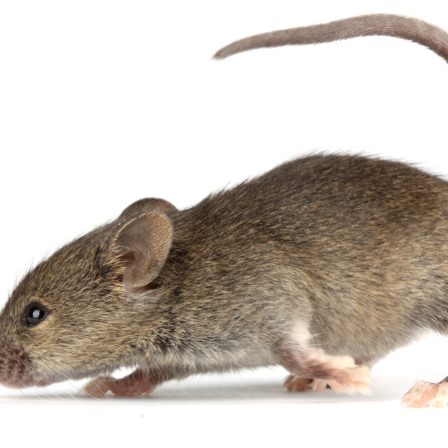 """Mouse"" stock image"