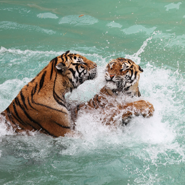 """tigers fighting"" stock image"