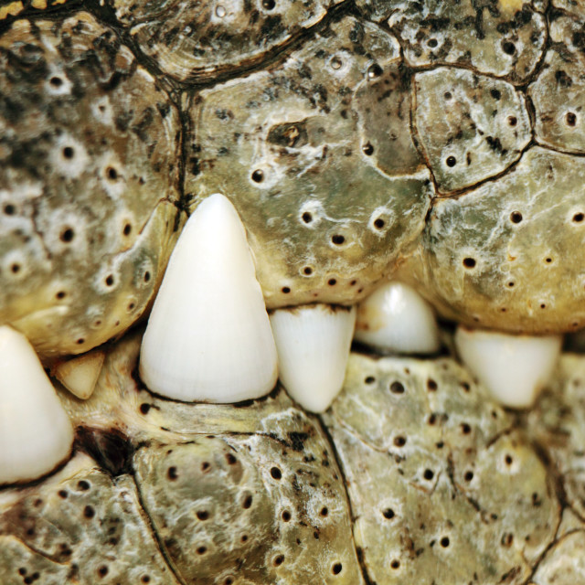 """crocodile teeth and mouth"" stock image"