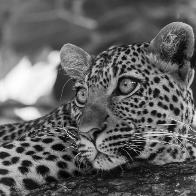 """Sausage tree leopard"" stock image"
