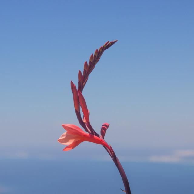 """Watsonia"" stock image"