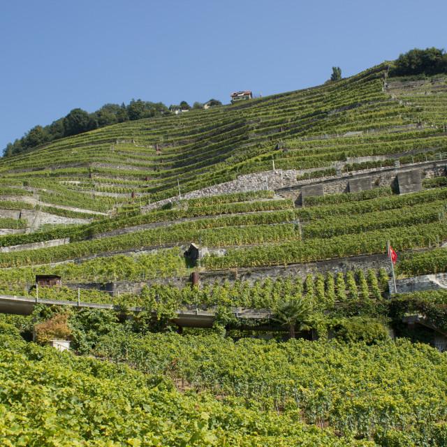 """Swiss vineyards"" stock image"
