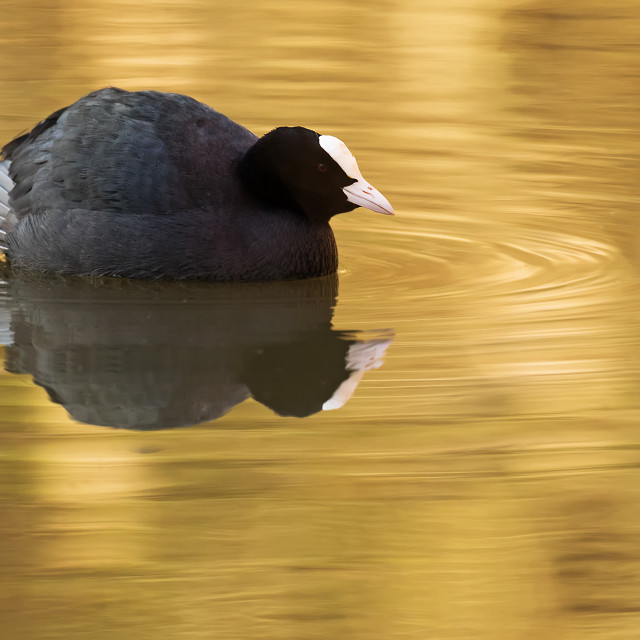 """Golden Coot"" stock image"
