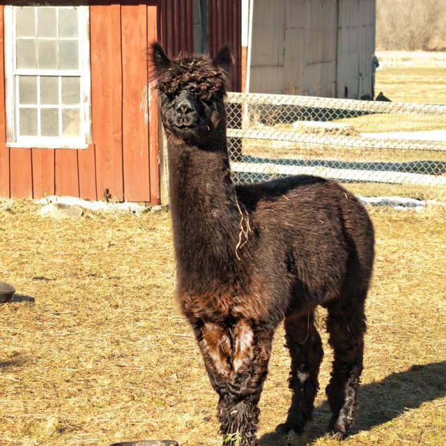 """dark brown alpaca"" stock image"
