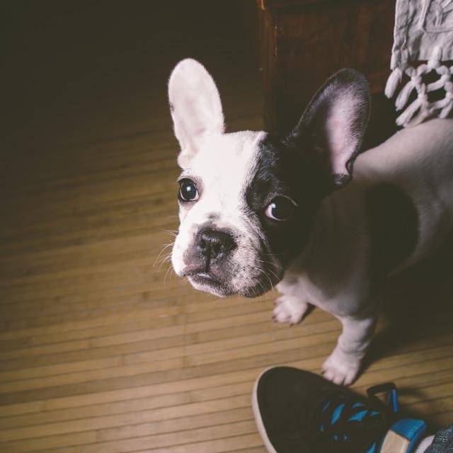 """Puppy french bulldog"" stock image"