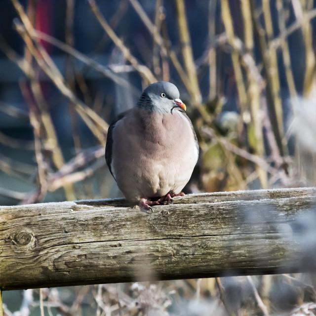 """Wood Pigeon."" stock image"