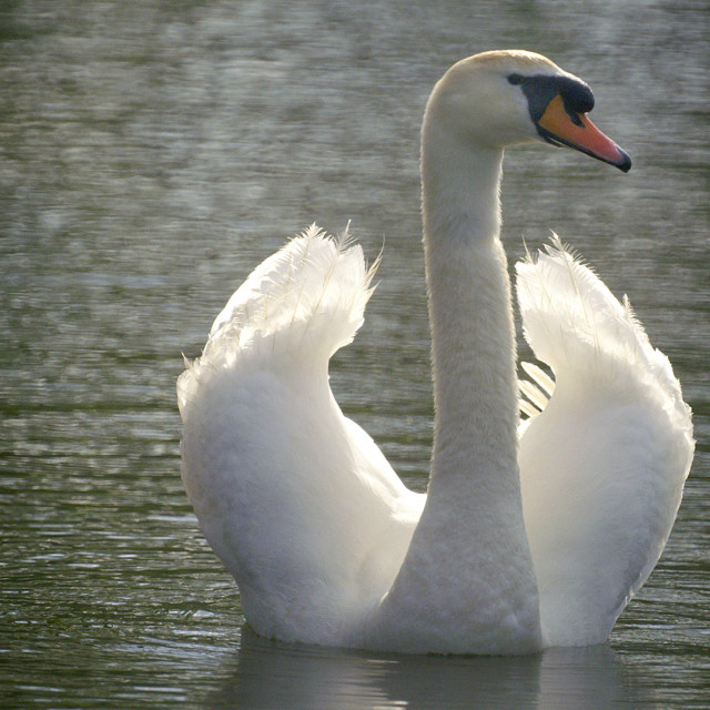 """Gliding Swan"" stock image"