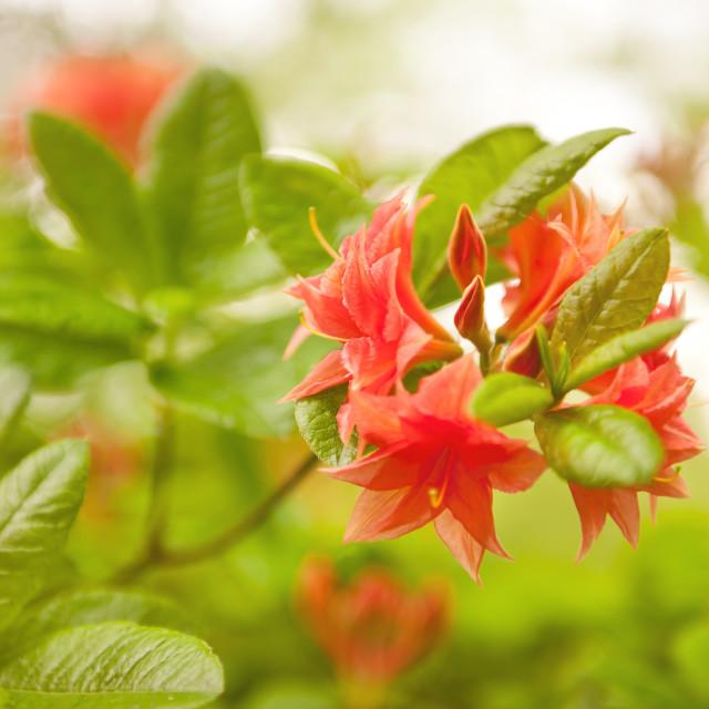 """""""Rhododendron or Azalea Il Tasso"""" stock image"""