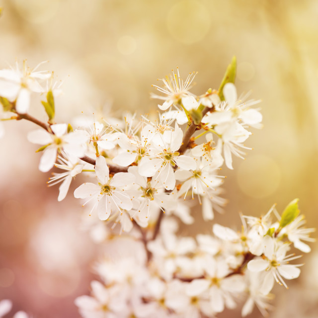 """Blooming Cerasus cherry tree"" stock image"