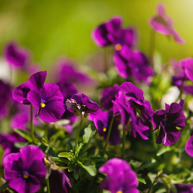 """Purple pansies flowering bunch"" stock image"