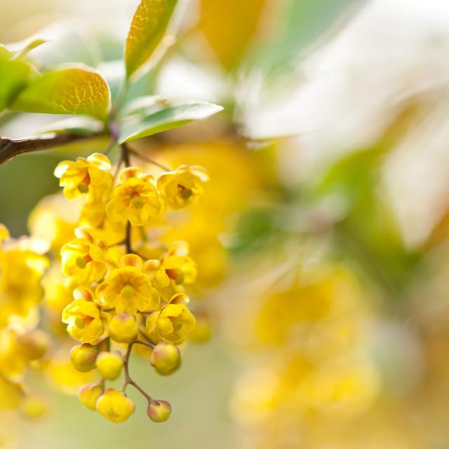 """Berberis yellow flowering shrub detail"" stock image"