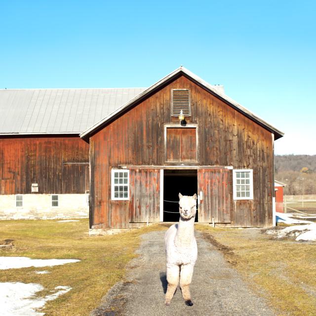 """alpaca outside his barn"" stock image"