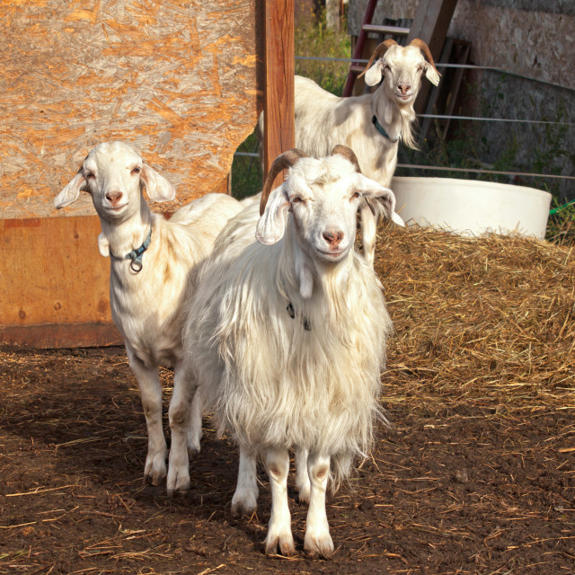 """three adorable goats"" stock image"