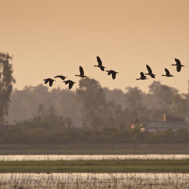 """""""Flying birds in nepali swamp"""" stock image"""
