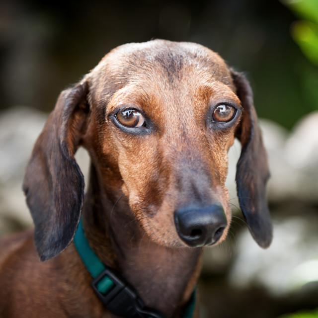 """Red dachshund dog"" stock image"
