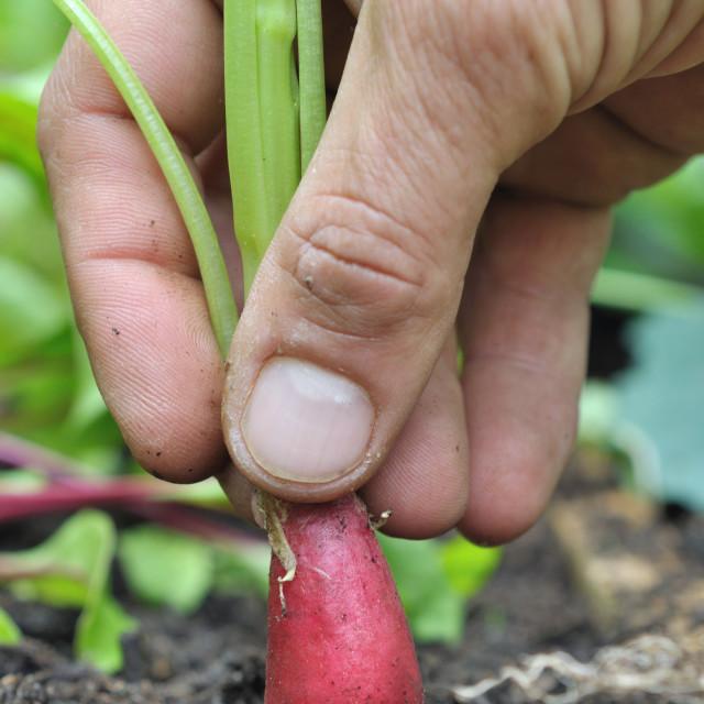 """picking radish"" stock image"