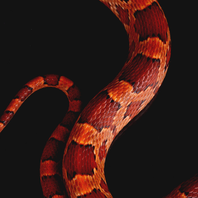"""a macro of the skin of a beautiful snake"" stock image"