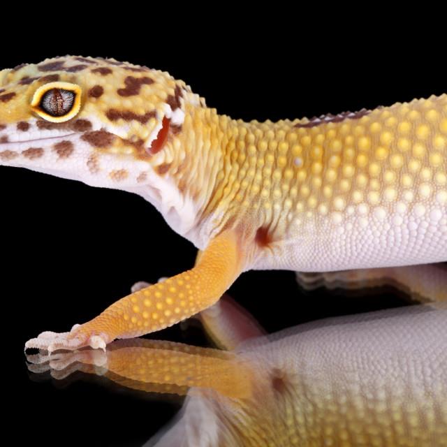 """a beautiful portrait of a leopard gecko"" stock image"