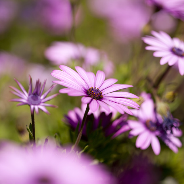 """Purple daisy"" stock image"