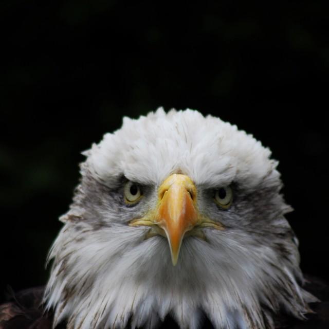 """""""Eagle stare"""" stock image"""