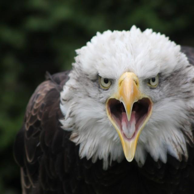 """""""Eagle Call"""" stock image"""