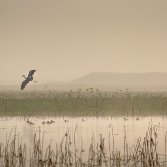 """Flying heron in terai's lake in Nepal"" stock image"